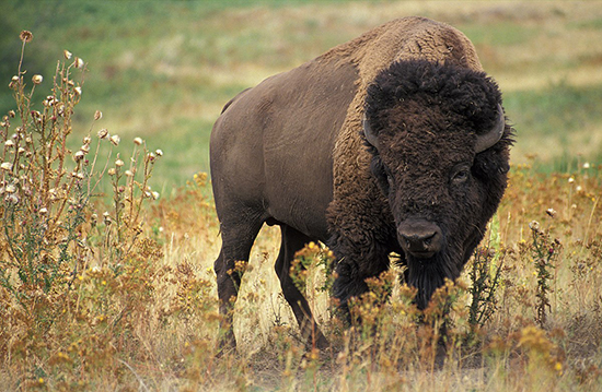 Photograph of an American bison standing in a field of grass and weeds. It is a very large animal with dark brown fur, a black mane, and short grey horns.